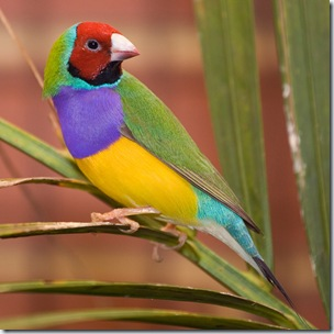 male_adult_gouldian_finch.jpg