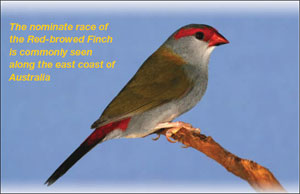 TheRed-browedFinch1.jpg