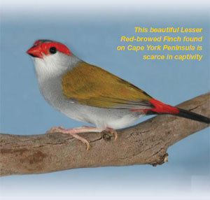 TheRed-browedFinch2.jpg