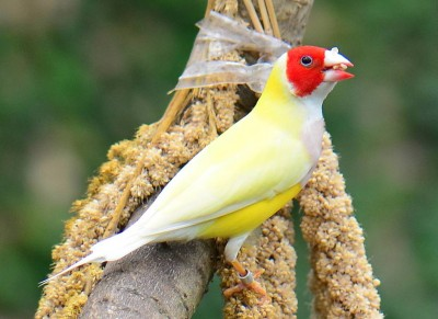 Gouldian-Finch-Aug28th-16.jpg