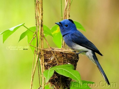Gorgeous_birds_Blue Flycatcher pop.jpg